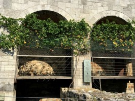 Oldest vine in world 500 hundred yo gifted to Ljubljana by Maribor